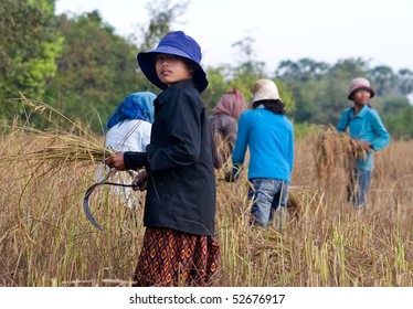 CAMBODIA - DECEMBER 29:  Young women harvesting rice by hand December 29, 2007 in rural Cambodia..