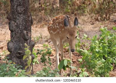 Cambodia. Eld's deer. Cervus eldi siamensis . Indochina .