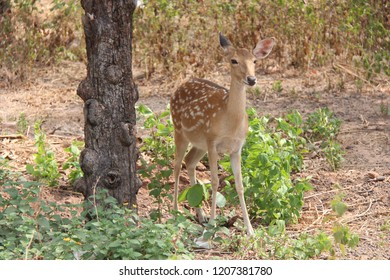 Cambodia. Eld's deer. Cervus eldi siamensis. Indochina.