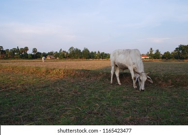 Cambodia's rice field: a cow eating grasses