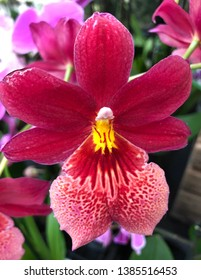 Cambria Nelly Isler orchid flower