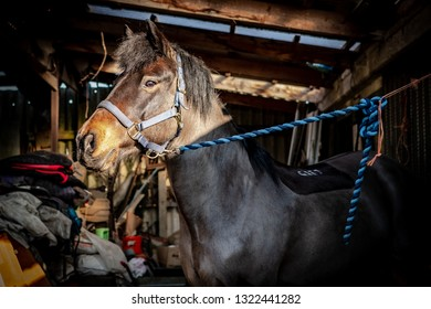 Cambridge, Cambridgeshire, UK - Circa February 2019: Detailed view of a tethered horse at his stable block. Seen with warm light highlighting his head, the horse is seen in a covered stable  section.