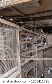 Cambridge, Cambridgeshire, UK - Circa October 2018: Interior view of a dove and pigeon loft used to house racing pigeons and other birds. Shown with a small flock together with perches and feeders.