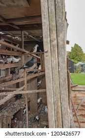 Cambridge, Cambridgeshire, UK - Circa October 2018: Interior view of a dove and pigeon loft used to house racing pigeons and other birds.  Part of the private garden and lawn area can also be seen.