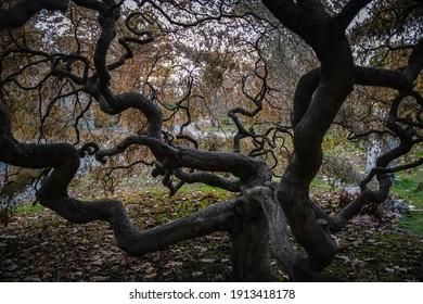 Cambridge, MA, USA, Nov. 17, 2020: The umbrella of a Threadleaf Japanese Maple is like an arterial diagram.