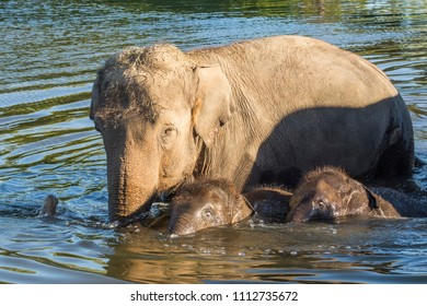 Cambridge, Ontario / Canada - September 2, 2017: Mother elephant, her baby and another baby swimming at the local pond at the African Lion Safari in Cambridge, Ontario.