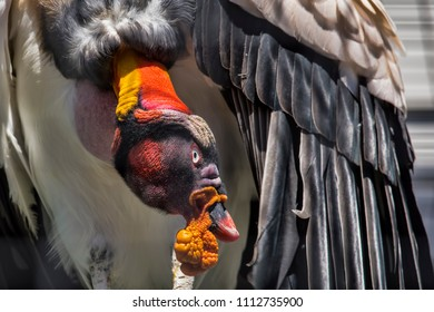 Cambridge, Ontario / Canada - September 2, 2017: A close up of a King Vulture e after the Bird of Prey show at African Lion Safari in Cambridge, Ontario.