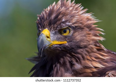 Cambridge, Ontario / Canada - September 2, 2017: A close up of a Golden Eagle after the Bird of Prey show at African Lion Safari in Cambridge, Ontario.