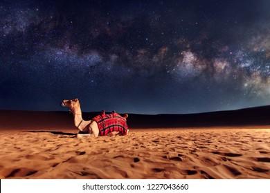 Kameel dier zit op het zandduin in een woestijn. Melkweg en sterren aan de hemel. Verenigde Arabische Emiraten