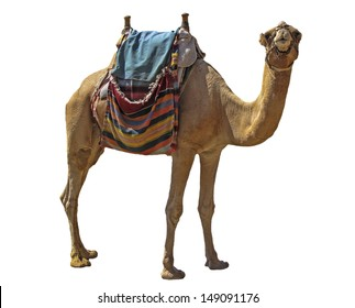Camel attraction for tourists in Israel