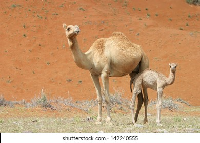 Camel and baby (calf) in Wadi Sumayni, Oman, Middle East