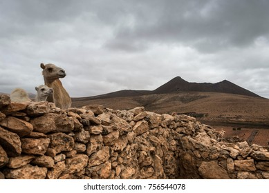 Camel baby in dry landscape