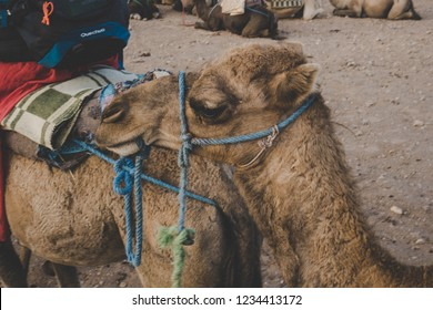 Camel being prepared to move on for a desert tour. A close up photo of camel's head. Camel riding in desert. MOROCCO.