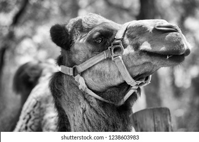 Camel, Black and White Portrait