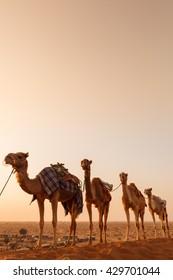 Camel caravan going through the desert during sunset