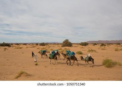 Camel caravan going through the sand dunes in the Sahara Desert. Morocco