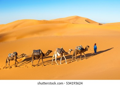 Camel caravan going through the sand dunes in the Sahara desert, Marocco. Camel in desert concept.