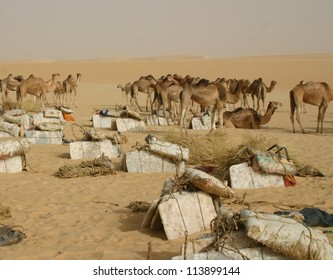 A camel caravan hauling salt through the Sahara desert of Mali, Africa, to Timbuktu,rests at a water hole
