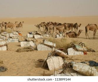 A camel caravan hauling salt through the Sahara desert of Mali, Africa, to Timbuktu,rests at a water hole