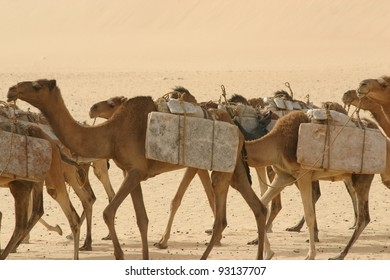 a Camel caravan  hauling salt through the Sahara Desert, of Mali, Africa,