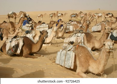 A camel caravan hauling salt to Timbuktu, Mali, rests after a long days march