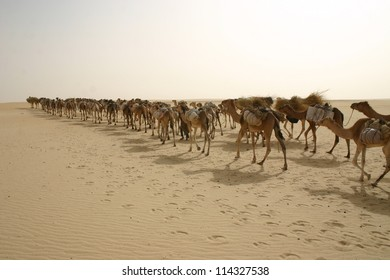 A camel caravan hauls salt in the Sahara desert of mali, Africa near Timbuktu
