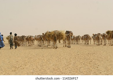 A camel caravan hauls salt under supervision of Tuareg nomads of the Berber tribe  near Timbuktu in the Sahara desert of mali,