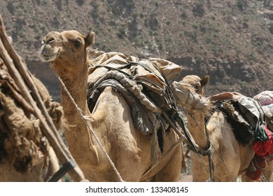 A camel caravan hauls supplies to miners digging salt from the desert floor of Ethiopia