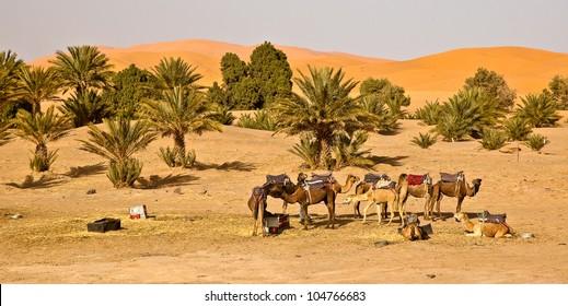 Camel caravan in Morocco is taking a break in the campsite oasis