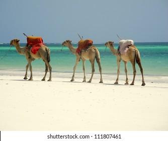 Camel caravan on the beach in Mombasa