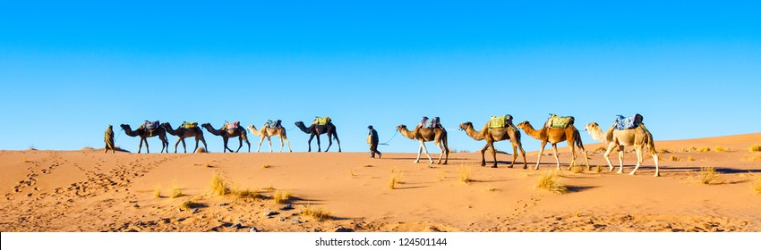 Camel caravan on the Sahara desert in profile against a bright blue sky. Adventure travel.   Panorama.