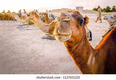 Camel caravan rest in desert. Camel portrait. Camel caravan group photo
