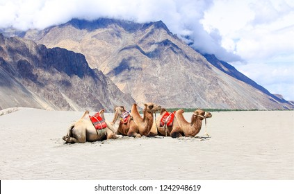 Camel caravan rest in mountain desert. Camel train rest. Camel caravan in desert. Camel caravan rest