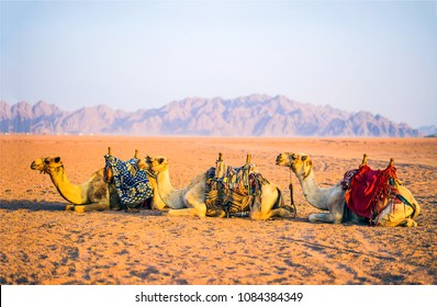 Camel caravan rest on desert sand. Three camels in resting camel caravan scene