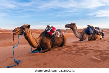 Camel caravan in the Sahara of Morocco
