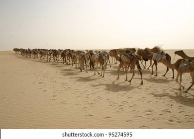 A camel caravan several hundred strong treks through the Sahara Desert of Mali, Africa hauling salt to Timbuktu.