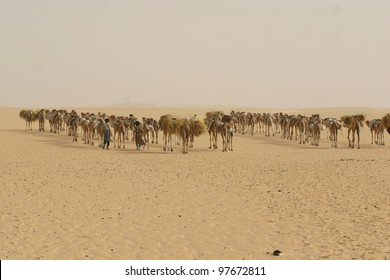 A camel caravan several hundred strong hauls salt from the mines at Tademmi, Mauritania across the Sahara desert to Timbuktu, Mali,