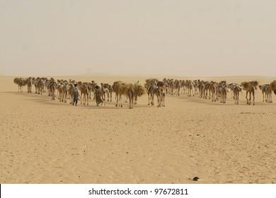 A camel caravan several hundred strong hauls salt from the mines at Tademmi, Mauritania across the Sahara desert to Timbuktu, Mali,
