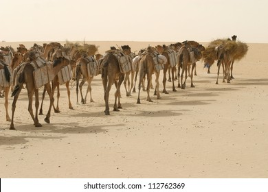 A camel caravan of Tuareg berber nomads, hauls salt through the Sahara desert of mali, africa on its way to Timbuktu.