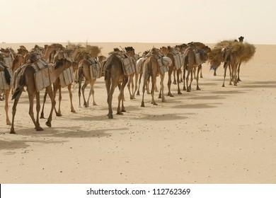 A camel caravan of Tuareg berber nomads, hauls salt through the Sahara desert of mali, africa on its way to Timbuktu.