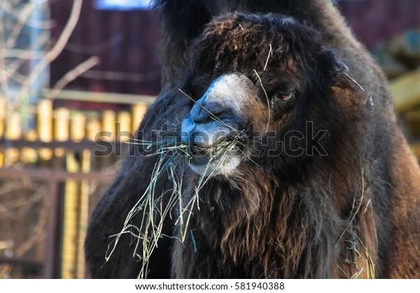 Camel chewing hay