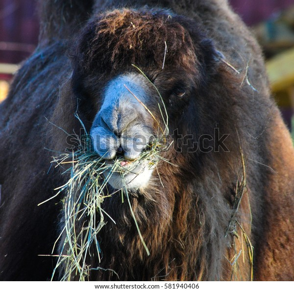 Camel chewing hay