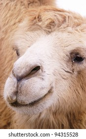 camel closeup portrait