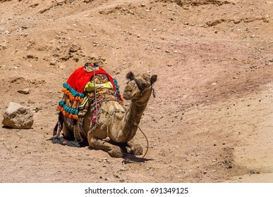 A camel with a colorful Bedouin saddle lies on the sand in the desert mountains of South Sinai, Egypt