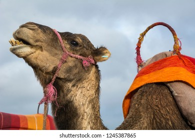 Camel and colourful saddle on outskirts of Marrakesh in Morocco