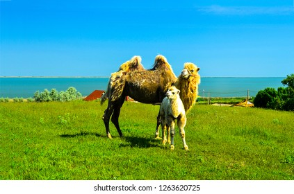 Camel with camel colt. Camel family photo. Camels view