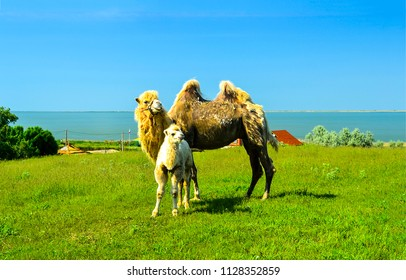 Camel with camel colt in nature. Camels on camel farm. Camel family in nature