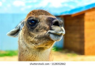 Camel colt portrait. Young camel face. Cute camel colt view