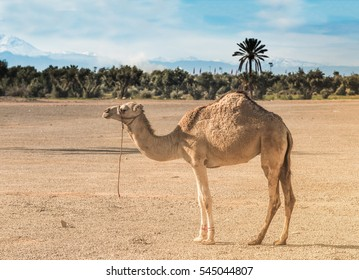 Camel in the contrasting landscape of sandy desert grounds in the foreground with lush olive and date palm trees and the snow capped Atlas mountains in the background. Marrakech, Morocco