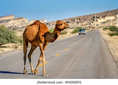 Camel crossing the road on the Queshm Island, Persian Gulf, Iran